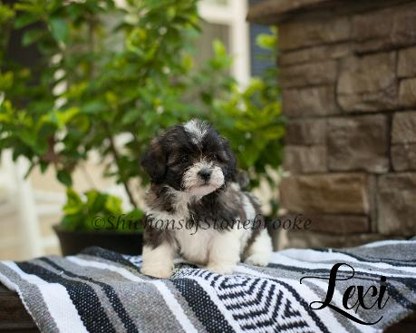 Shichon Puppies SC - Shichon puppies for adoption
